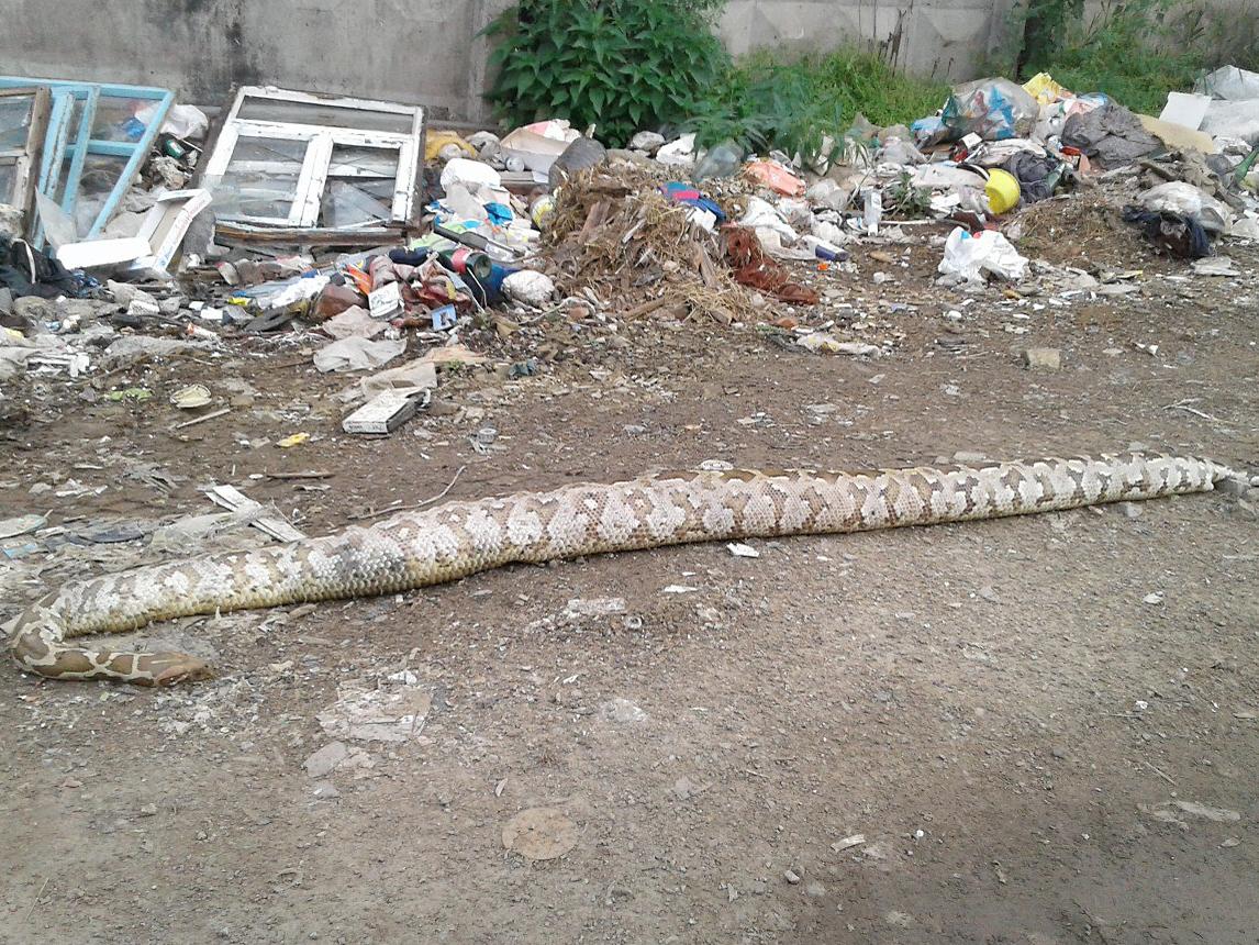 ВКусе выбросили насвалку мертвую змею длиной около 3-х метров