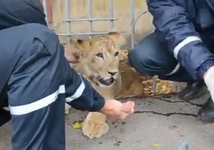 Вцентре Уфы словили бегавшего поулицам львенка