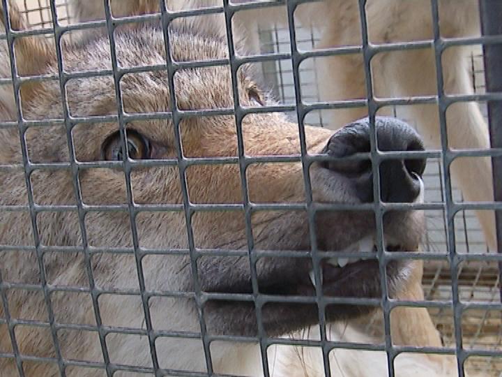 ВЧелябинске спасли отголодной смерти 2-х волков, лису инутрию