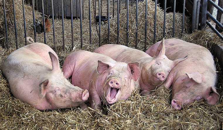 ВУйском продолжаются карантинные мероприятия поафриканской чуме свиней