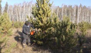 Лесорубы уже заготовили 10 тысяч деревьев