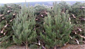 Новогодние елки везли в Челябинскую область без сертификатов