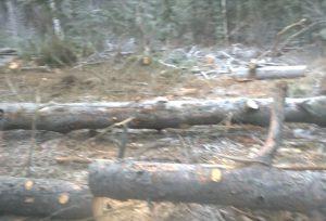 в Челябнске вырубили реликтовый лес