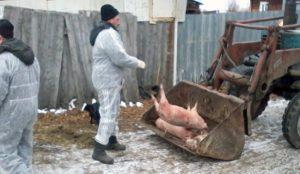Россельхознадзор уничтожил свиней в окрестностях Тимирязевского