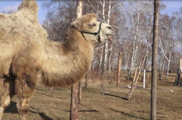 верблюды в Копейске