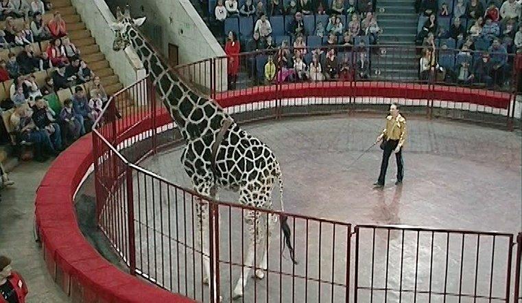 Семиметровый жираф Багир в Челябинске впервые