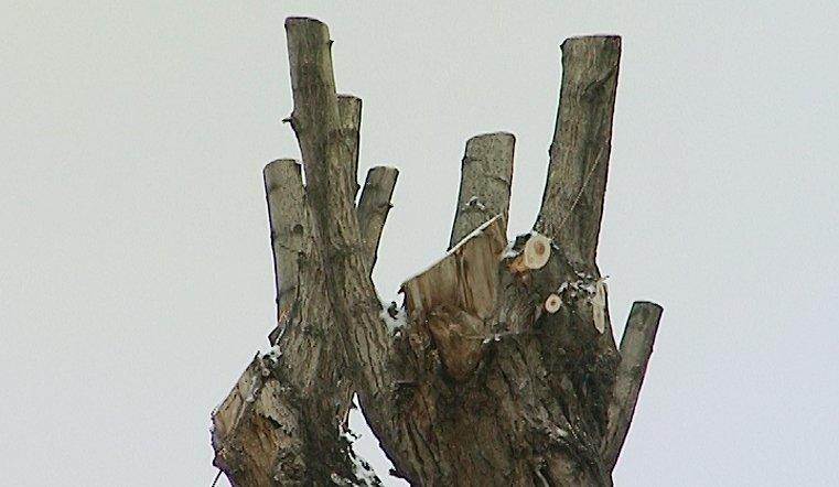 После такой обрезки дерево ждет неминуемая медленная гибель