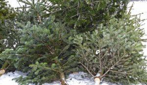 В лесах незаконно вырубают елки черные лесорубы