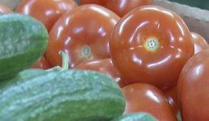 В теплицах агрокомплекса выращивают уникальные сорта томатов