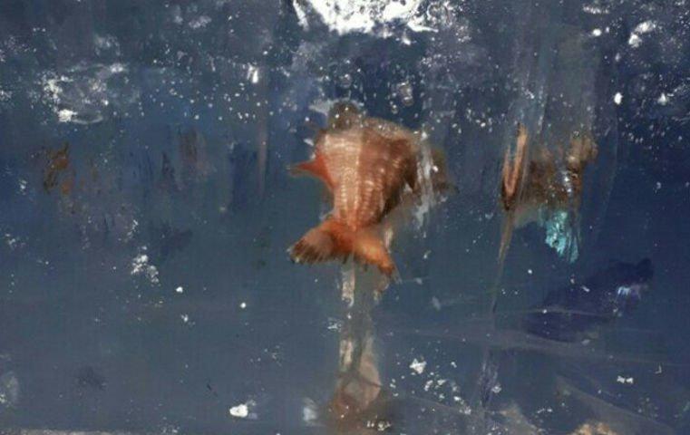 НаУрале строители ледового городка вмонтировали вскульптуру живую рыбу