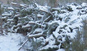 Вырубили больше тысячи елок на двух гектарах земли