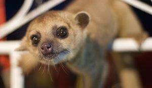 Обитателю челябинского зоопарка кинкажу просят придумать имя