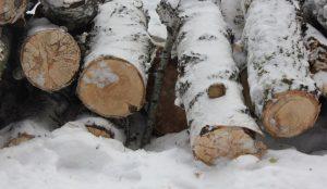 На Южном Урале черный лесоруб погубил 150 берез