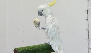 Попугай в Челябинском оперном театре