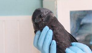 Ветеринар осмотрел травмированную птицу