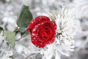 морозы и роза