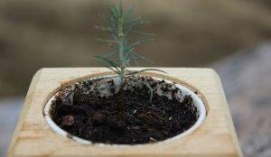 На Южном Урале вырастят хвойные деревья из семян Кремлевской елки