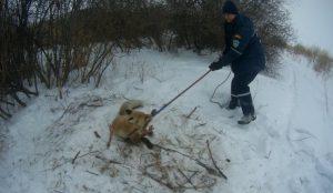 Спасатели помогли освободить из капкана лису