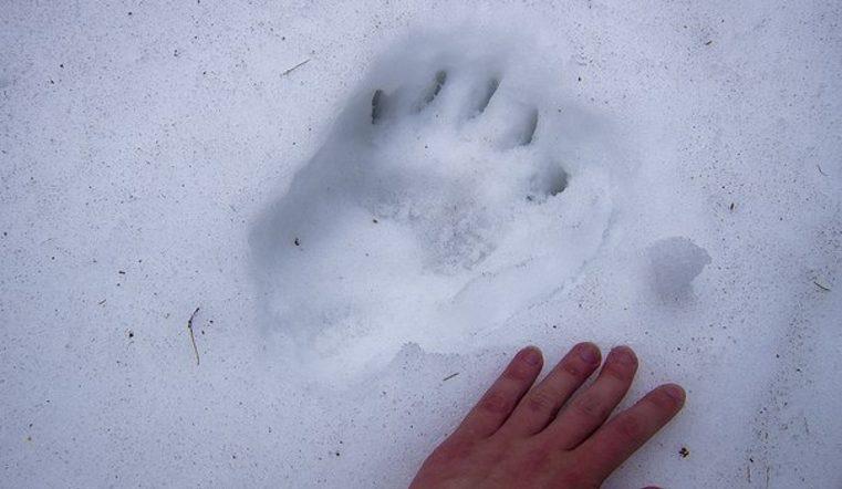 На Таганае медведи вышли из зимней спячки