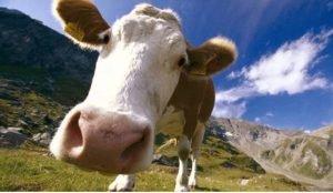 Корова Сильва в рассказах о животных