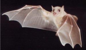 Как белая летучая мышь стала серой