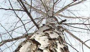 Деревья для Аллеи Славы