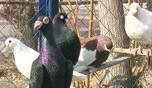 Инициативная группа местных жителей выступила против голубятни во дворе