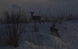 браконьеры, косули