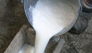 Фермеры сливают молоко в канализацию или отдают свиньям