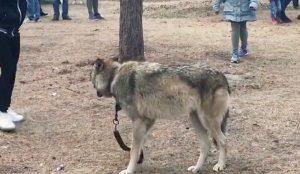 Волка выгуливают в парке