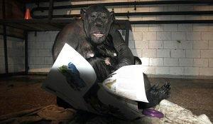 Журналы для шимпанзе челябинского зоопарка