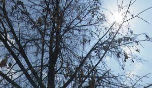 В Челябинске засохли 10-летние липы