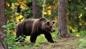 Охота на медведей