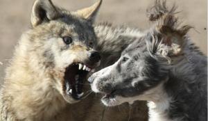 Еще один случай бешенства животных зарегистрирован на Южном Урале