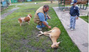 Карен Даллакян отпустил на свободу искусаннную собаками косулю