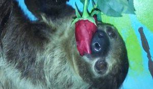 Ленивец полакомился розой