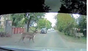 Олень сбежал из зоопарка