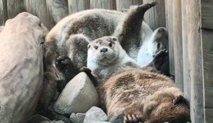 Выдры в челябинском зоопарке