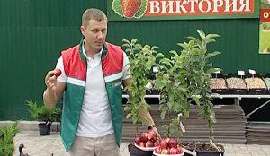 """Яблоки от садовой фирмы """"Виктория"""""""