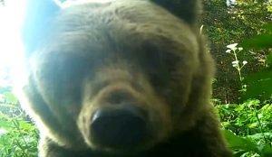 Медведь попал в фотоловушку