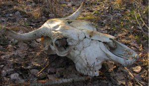 В Коркино нашли опасный скотомогильник
