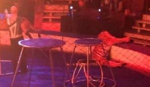 Тигру стало плохо на арене цирка в Магнитогорске