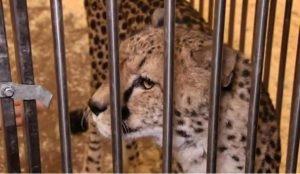 На ребенка напал леопард за кулисами цирка