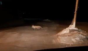 Лиса выходит каждую ночь на прогулку по Копейску