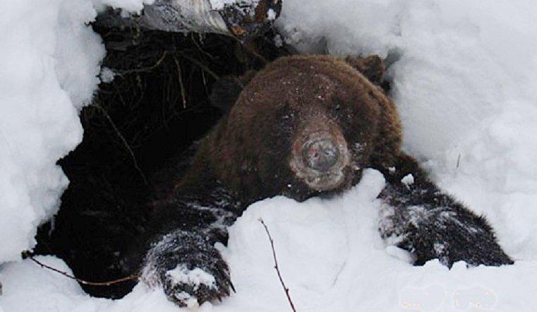 круассаны медведь в берлоге фото животного листва
