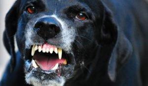 Бойцовский пес покалечил жителя Озерска