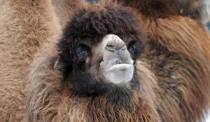 В Челябинской области разводят верблюдов, которые не боятся морозов