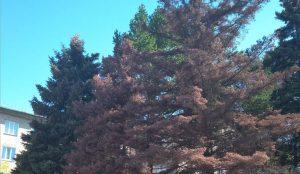 В Челябинске гибнут голубые ели
