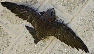 В соцсетях появилась инструкция по спасению птиц во время стрижепада