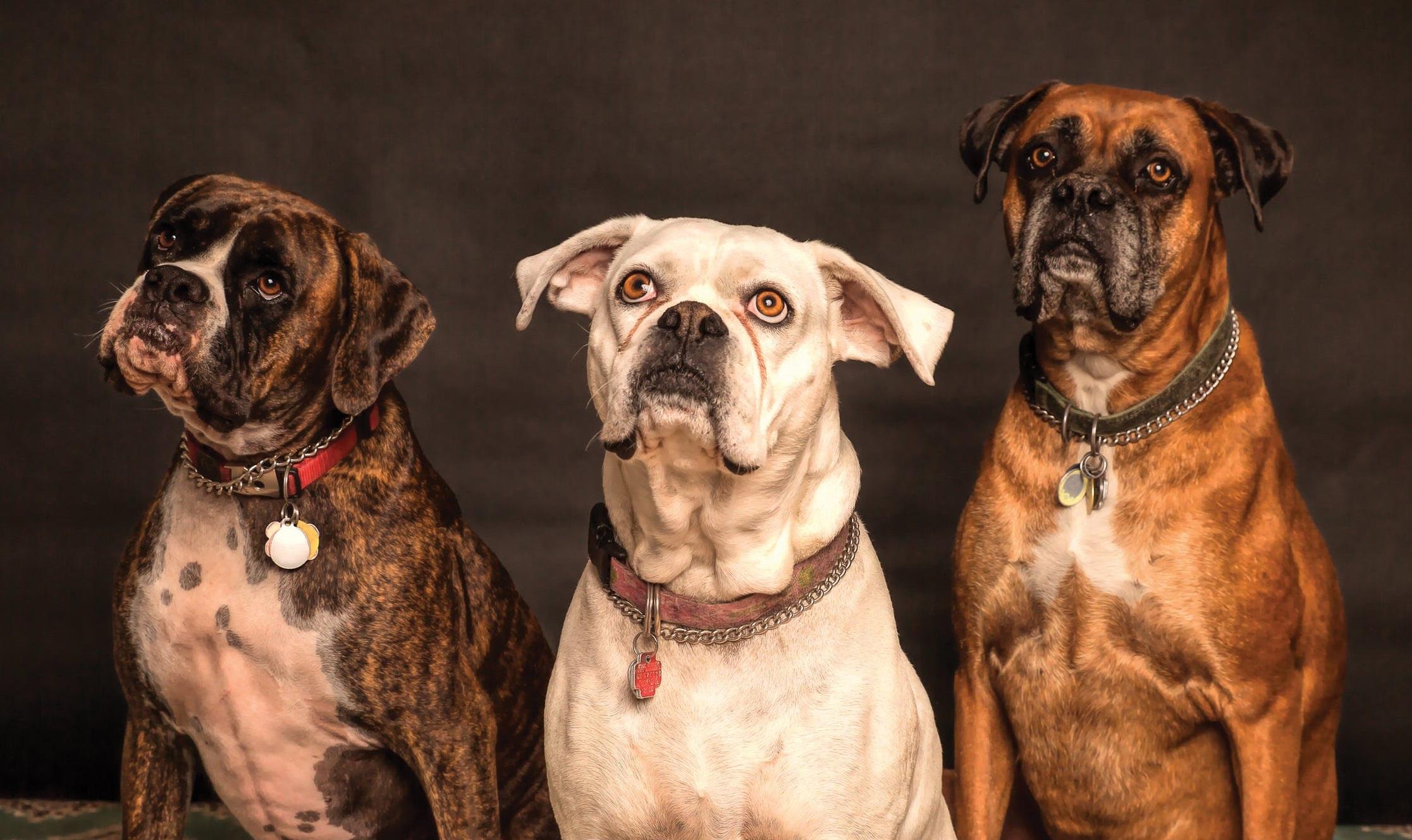 Топ-5 потенциально опасных собак. В России составили список агрессивных пород